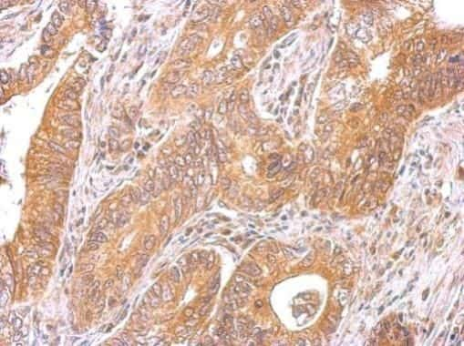 C6orf97 Antibody in Immunohistochemistry (Paraffin) (IHC (P))