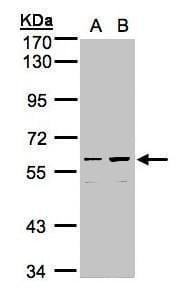 C18orf14 Antibody in Western Blot (WB)