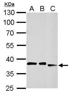 CDK7 Antibody in Western Blot (WB)