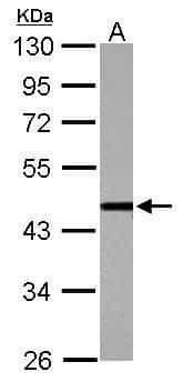 CSTF1 Antibody in Western Blot (WB)