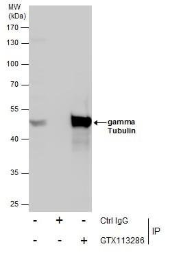 gamma Tubulin Antibody in Immunoprecipitation (IP)