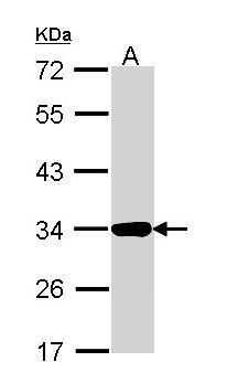 Annexin A4 Antibody in Western Blot (WB)
