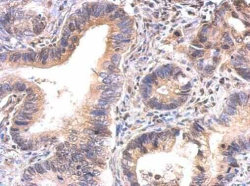 GAPDHS Antibody in Immunohistochemistry (Paraffin) (IHC (P))