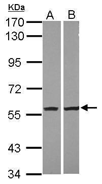 NAMPT Antibody in Western Blot (WB)