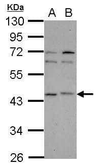 p40 Antibody in Western Blot (WB)