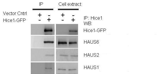 HAUS1 Antibody in Western Blot (WB)