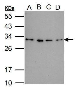 RWDD3 Antibody in Western Blot (WB)