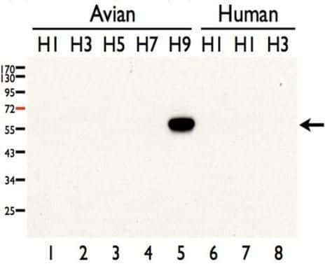 Influenza A H9N2 HA Antibody in Western Blot (WB)