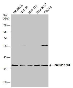 hnRNP A2B1 Antibody in Western Blot (WB)