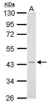 TNFRSF11B Antibody in Western Blot (WB)