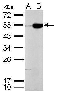 CFDP1 Antibody in Western Blot (WB)