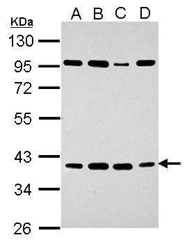 HEY2 Antibody in Western Blot (WB)