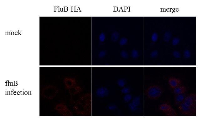 Influenza B HA Antibody in Immunofluorescence (IF)