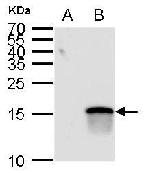ATOH7 Antibody in Western Blot (WB)