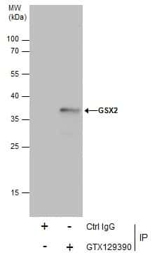 GSX2 Antibody in Immunoprecipitation (IP)