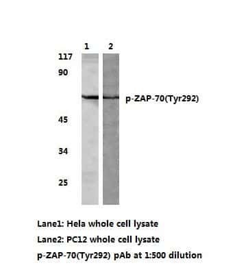 Phospho-Zap-70 (Tyr292) Antibody in Western Blot (WB)