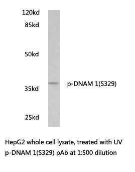 Phospho-CD226 (Ser329) Antibody in Western Blot (WB)
