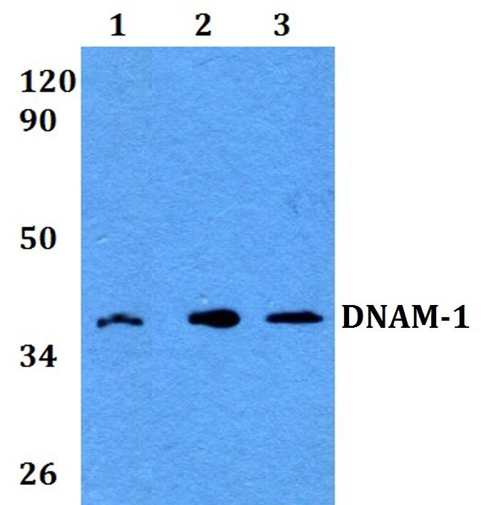 CD226 Antibody in Western Blot (WB)