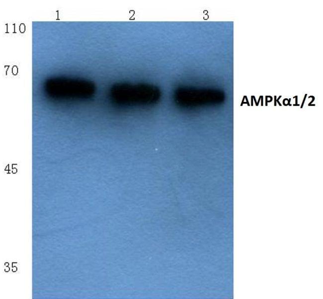 AMPK alpha-1,2 Antibody in Western Blot (WB)