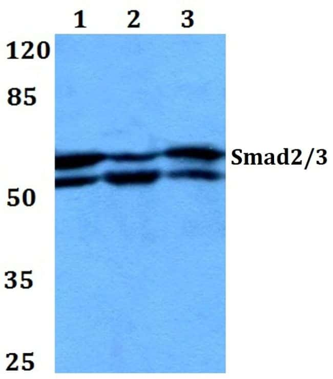 SMAD2/SMAD3 Antibody in Western Blot (WB)