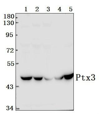 PTX3 Antibody in Western Blot (WB)