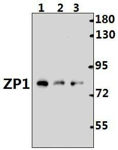 ZP1 Antibody in Western Blot (WB)