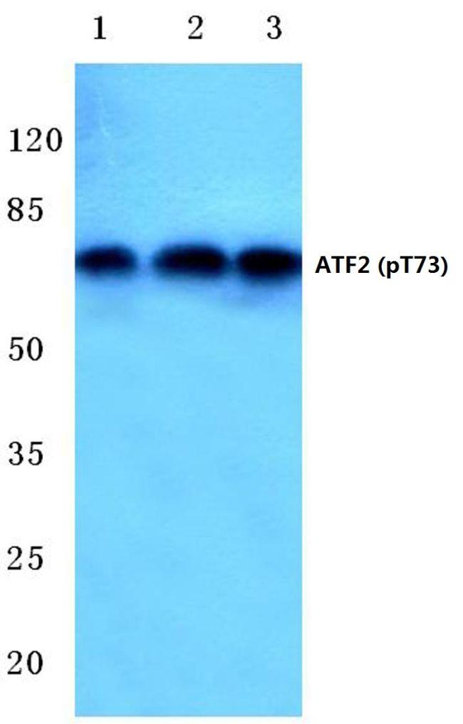 Phospho-ATF2 (Thr73) Antibody in Western Blot (WB)