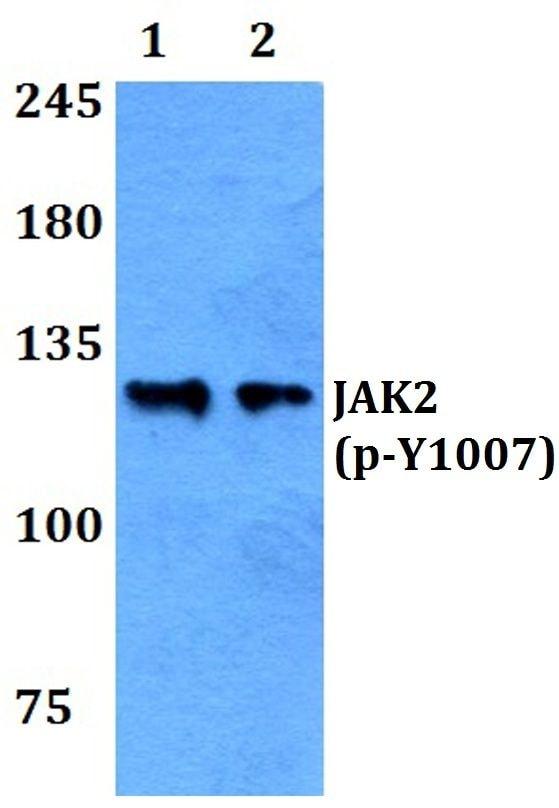 Phospho-JAK2 (Tyr1007) Antibody in Western Blot (WB)