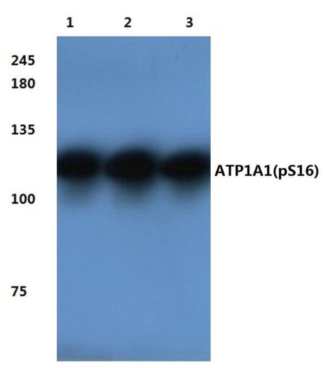 Phospho-ATP1A1 (Ser16) Antibody in Western Blot (WB)