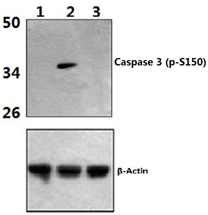 Phospho-Caspase 3 (Ser150) Antibody in Western Blot (WB)