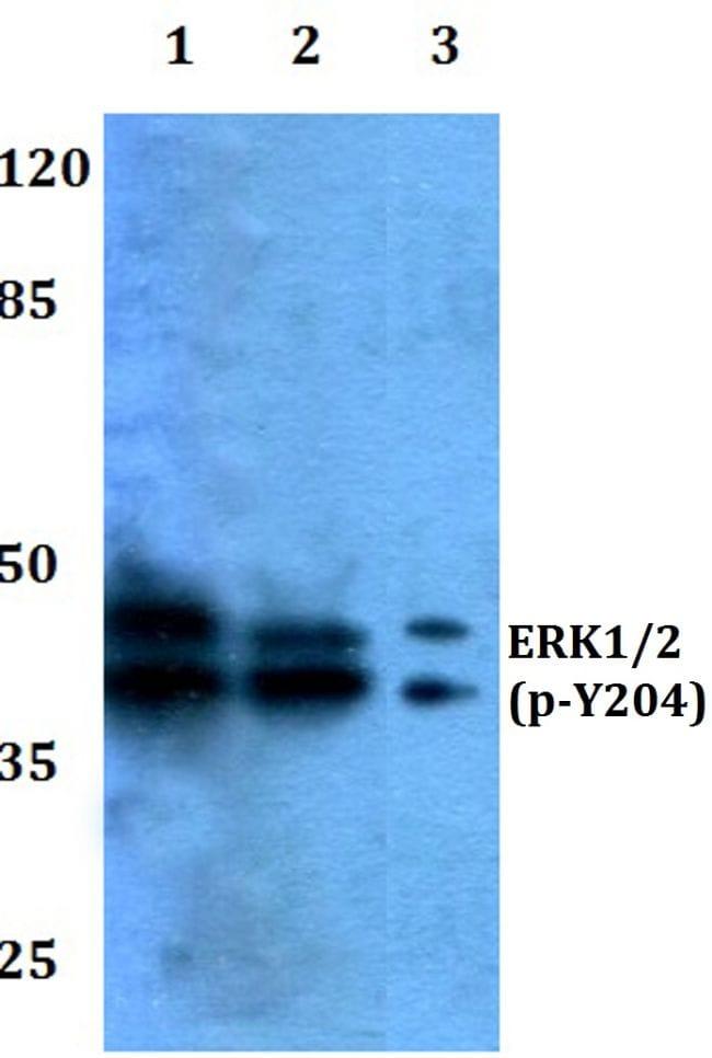 Phospho-ERK1/ERK2 (Tyr204) Antibody in Western Blot (WB)