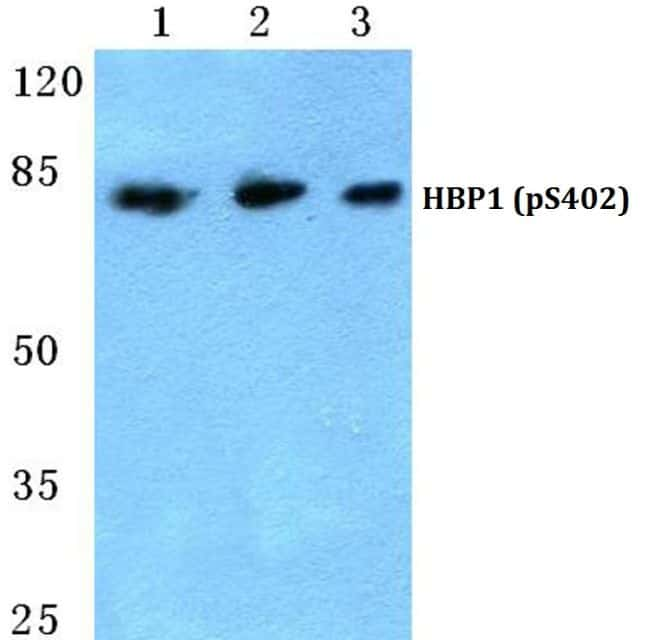 Phospho-HBP1 (Ser402) Antibody in Western Blot (WB)