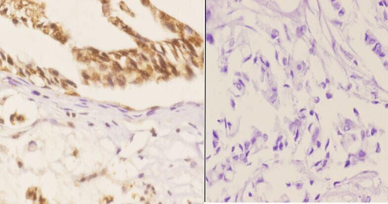 Phospho-SMAD1 (Ser187) Antibody in Immunohistochemistry (Paraffin) (IHC (P))