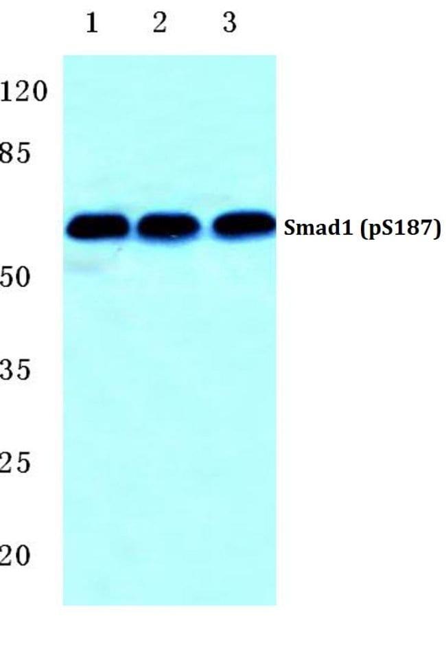 Phospho-SMAD1 (Ser187) Antibody in Western Blot (WB)