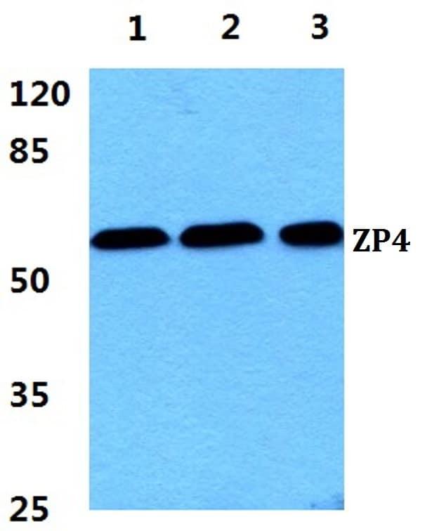 ZP4 Antibody in Western Blot (WB)