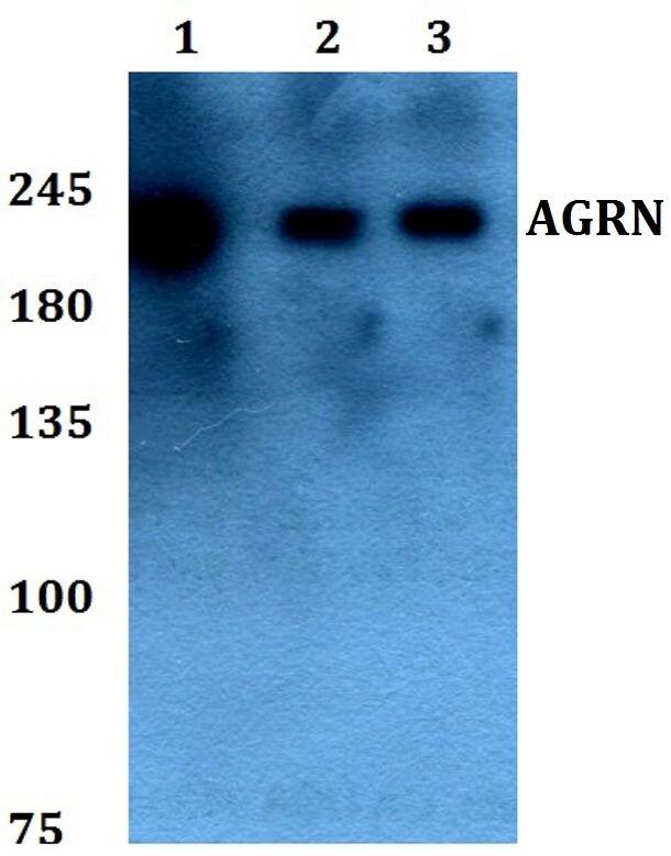 Agrin Antibody in Western Blot (WB)