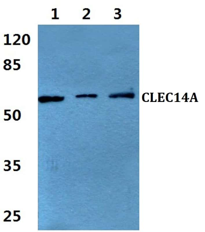 CLEC14A Antibody in Western Blot (WB)