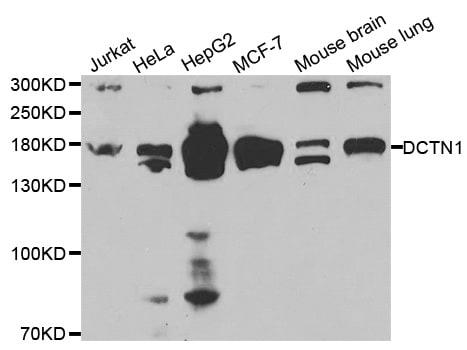 Dynactin 1 Antibody in Western Blot (WB)