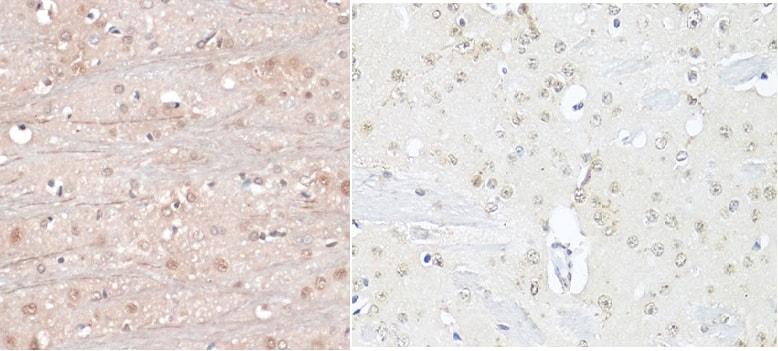 NeuN Antibody in Immunohistochemistry (Paraffin) (IHC (P))