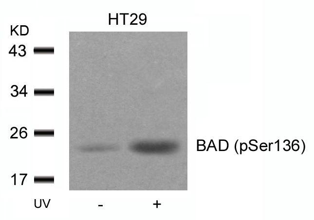 Phospho-BAD (Ser136) Antibody in Western Blot (WB)