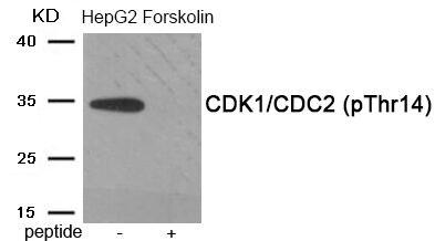 Phospho-CDK1 (Thr14) Antibody in Western Blot (WB)