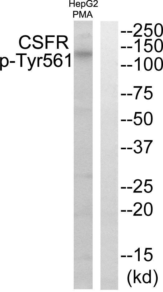 Phospho-CSF1R (Tyr561) Antibody in Western Blot (WB)