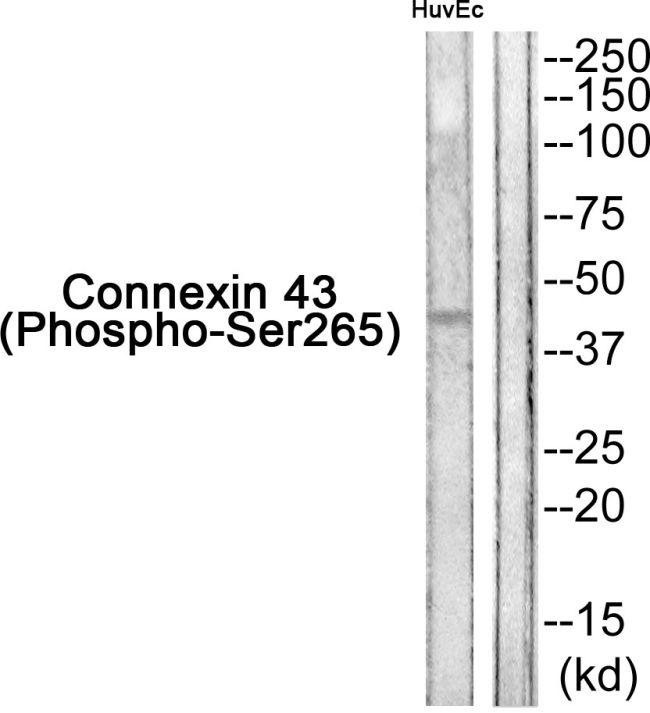 Phospho-Connexin 43 (Tyr265) Antibody in Western Blot (WB)