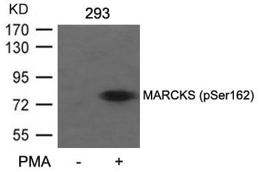 Phospho-MARCKS (Ser162) Antibody in Western Blot (WB)