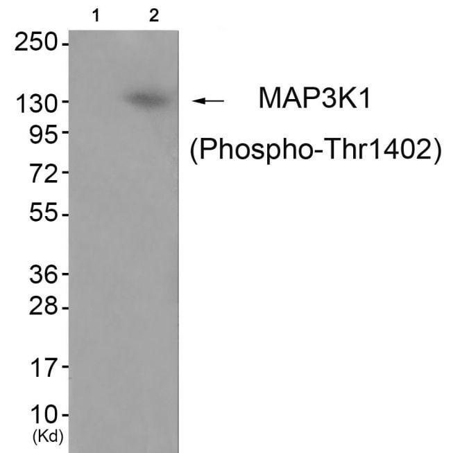 Phospho-MEKK1 (Thr1402) Antibody in Western Blot (WB)