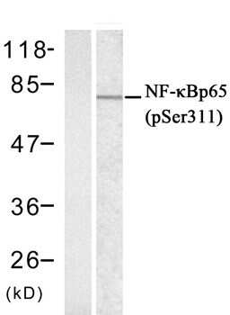 Phospho-NFkB p65 (Ser311) Antibody in Western Blot (WB)