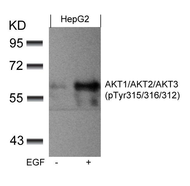 Phospho-AKT Pan (Tyr315, Tyr316, Tyr312) Antibody in Western Blot (WB)