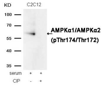 Phospho-AMPK alpha-1,2 (Thr172) Antibody in Western Blot (WB)