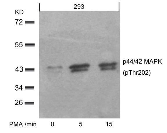Phospho-ERK1/ERK2 (Thr202) Antibody in Western Blot (WB)