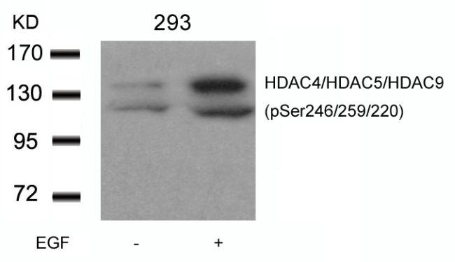 Phospho-HDAC4/HDAC5/HDAC9 (Ser246, Ser259, Ser220) Antibody in Western Blot (WB)